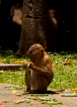 A monkey eating fruit = THAILAND.